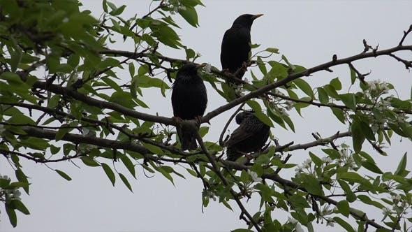 Thumbnail for Common Blackbird