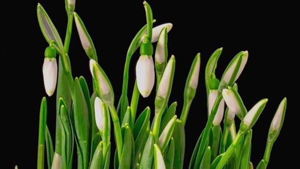 Soft White Snowdrops Blossom