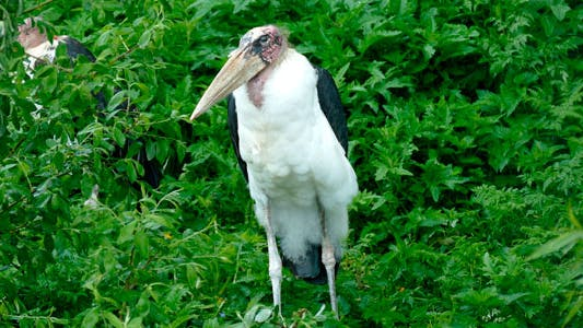 Oiseau Marabou
