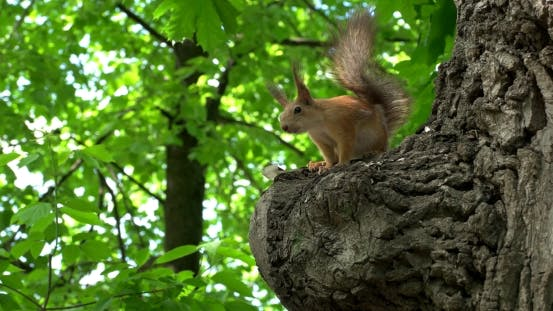Thumbnail for Squirrel On a Tree