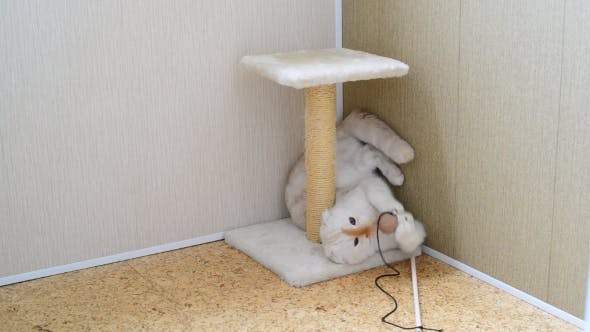 Thumbnail for 7 Month Kitten Playing With Toy And a Scratching Post