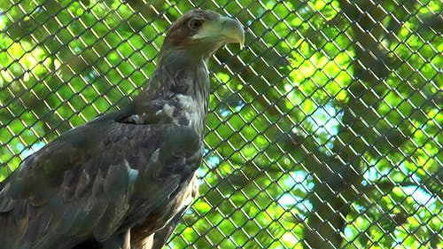 Golden Eagle Sits in a Cage