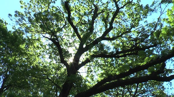 Thumbnail for The Sun Shines Through the Branches of An Old Tree