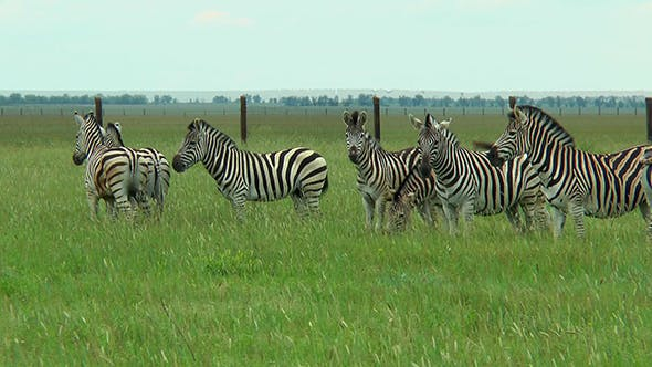 Thumbnail for Group of Zebras Grazing in the Steppe
