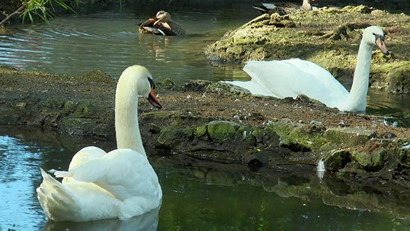 Thumbnail for Swans Swim in the Pond
