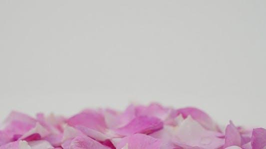 Thumbnail for Petals 24