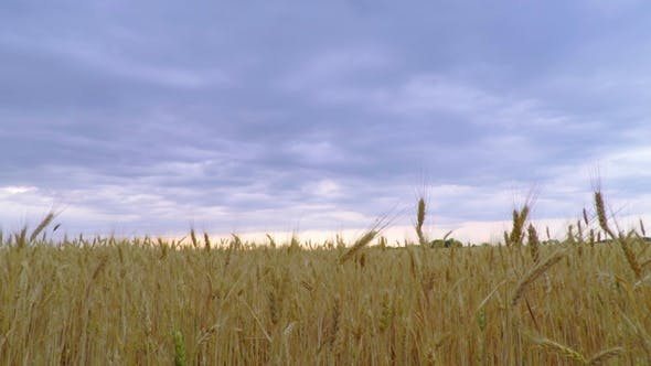 Thumbnail for Dark Clouds Sky over the Golden Wheat.