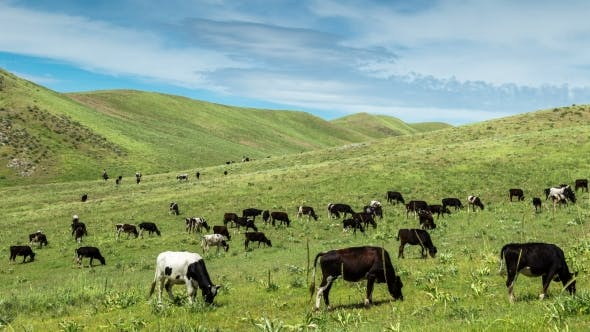 Cover Image for Herd Of Cows Grazing In a Meadow In The Mountains, Kazakhstan