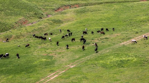 Cover Image for Herd Of Cows Grazing In a Meadow, Kazakhstan -