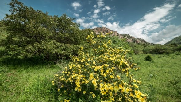 Thumbnail for Flowers Of Wild Rose In The Mountains, Kazakhstan -