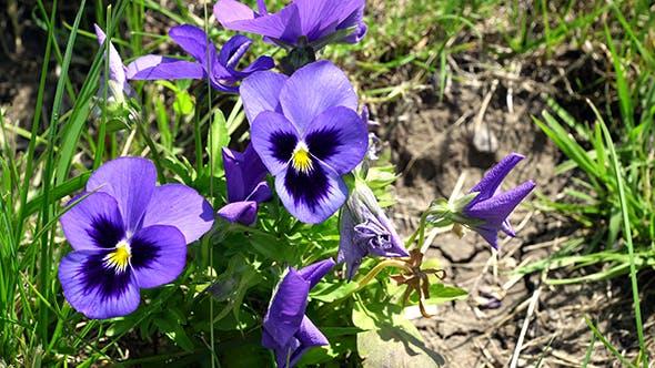Thumbnail for Lilac Flower Viola