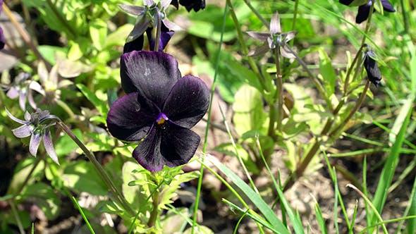 Thumbnail for Viola Black Star Flowers