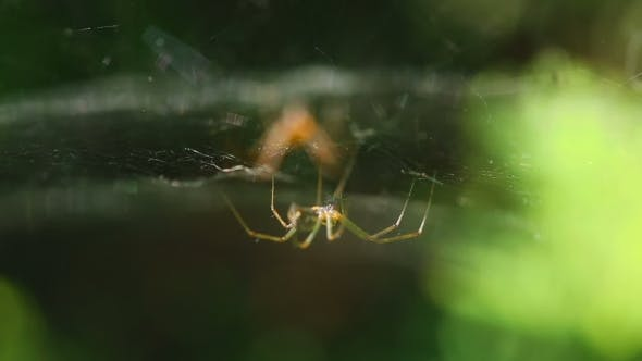 Thumbnail for Two Spider On The Web