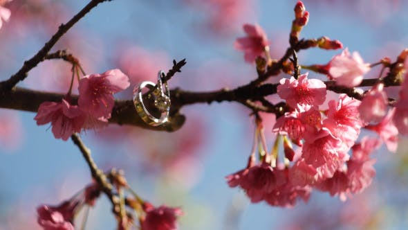 Thumbnail for Wedding Ring On Sakura Tree