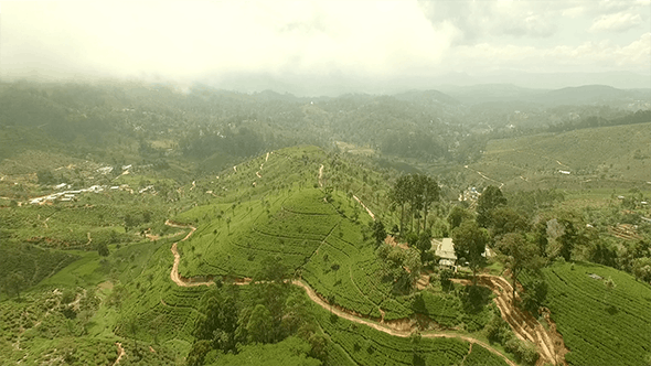 Thumbnail for Aerial View of a Tea Covered Mountain