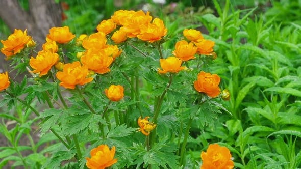 Cover Image for Trollius Asiaticus Orange Flowers Under Rain