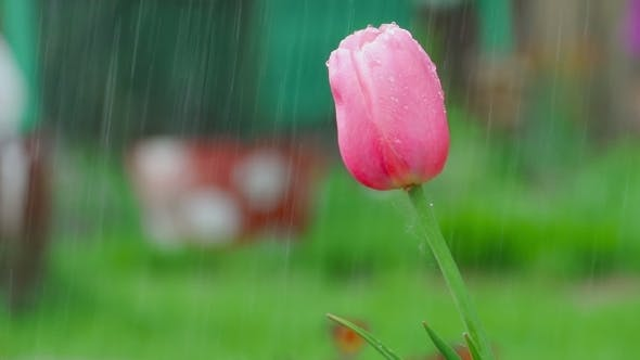 Thumbnail for Pink Tulip Flower Under Rain