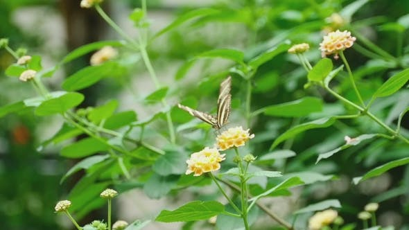Thumbnail for Tropical Butterfly Eats Nectar On a Flower