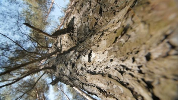 Thumbnail for Looking Up a Pine Tree Into Its Canopy.
