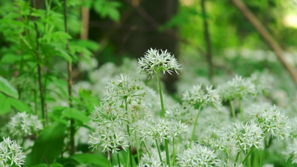 Thumbnail for Beautiful Wild Flowers In Forest