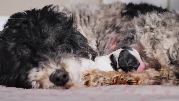 Thumbnail for The Dog Is Sleeping Near a Newly Born Puppy