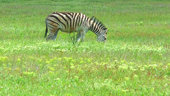 Thumbnail for Lonely Zebra Grazing in the Wilderness on the Grass