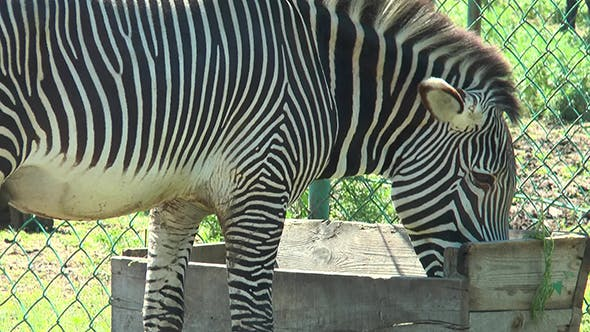 Thumbnail for Zebra Who Eats From the Trough