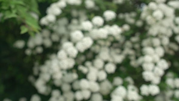 Cover Image for White Flowers On Blooming Bush