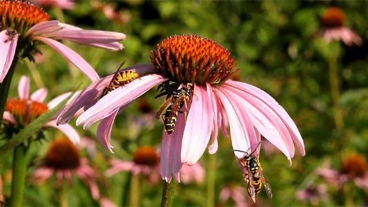 Thumbnail for Wasp