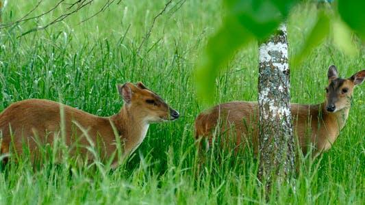 Thumbnail for Animals Gazelle