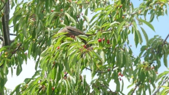 Cover Image for Common Blackbird Eating Cherries