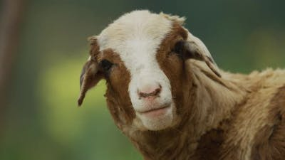 A sheep bleating