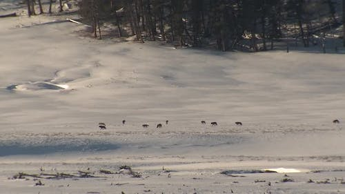 Wolf Adult Immature Pack Several Wolves Walking Moving in Winter