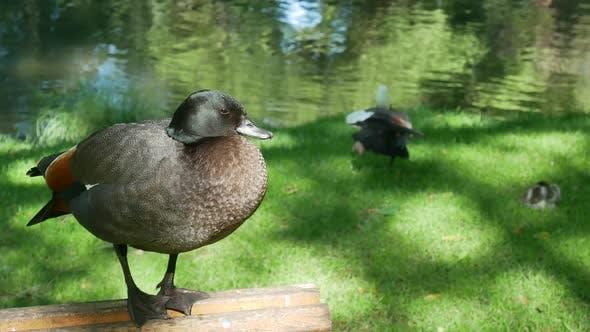 Mallard duck stand on the chair at Botanical Garden, Christchurch