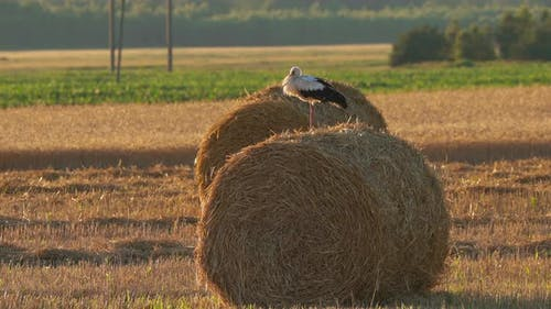 Adult European White Stork - Ciconia Ciconia - Sitting On Hay Bale In Summer Field. Belarus
