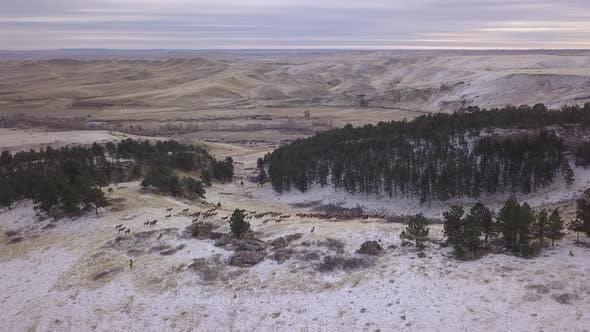 Thumbnail for Elk Herd Many Alarmed Spooked Frightened Running Fleeing Winter