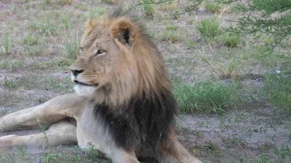 Thumbnail for Male lion changing rest position
