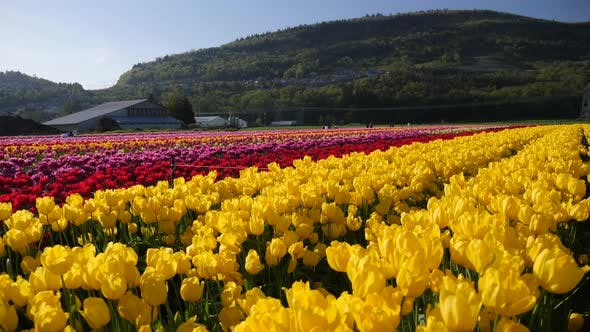 Fleurs de tulipes jaunes poussant dans un champ.