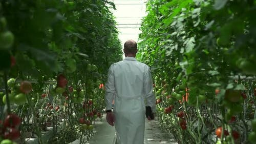 Specialist Walks Through Plantation with Growing Tomato Plants in Hydroponic Greenhouse Spbd