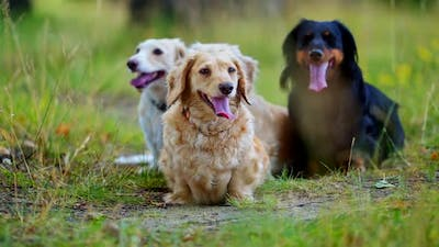 Domestic dogs in nature