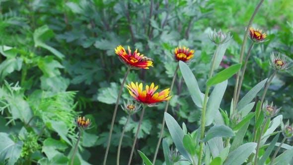 Thumbnail for Bumblebee On a Flower Gailardia