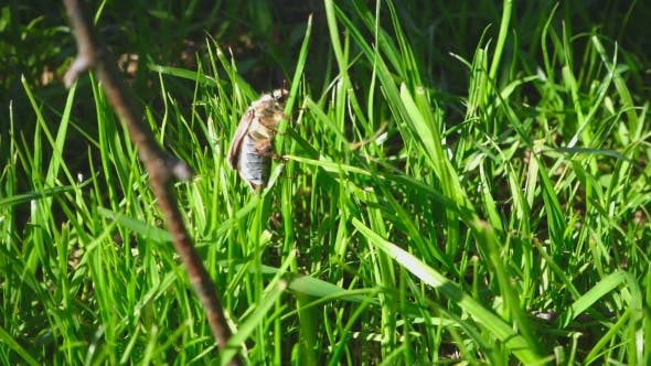 Thumbnail for May-bug Beetle In Grass