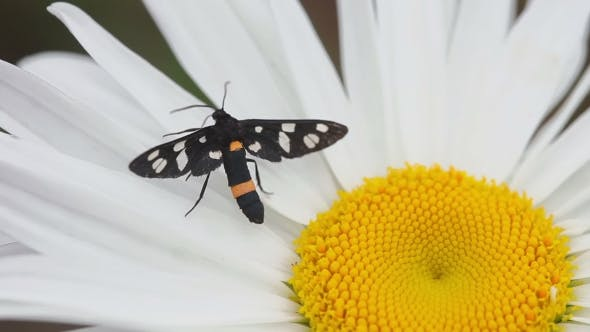 Thumbnail for Moth On a Flower Daisy