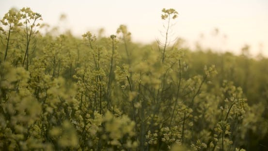 Thumbnail for Blooming Canola Field