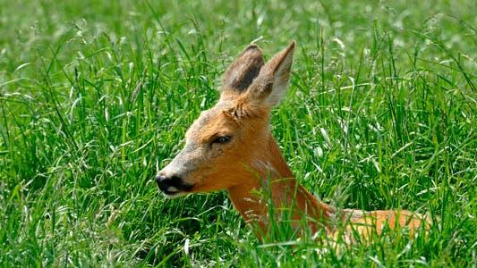 Thumbnail for Animal Deer