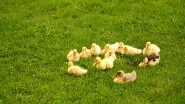 Thumbnail for Footage Little Ducklings Walking Outdoors On Green Grass