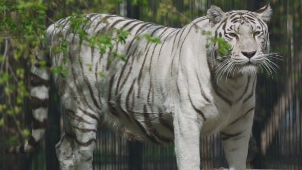 Thumbnail for Gorgeous White Tigress