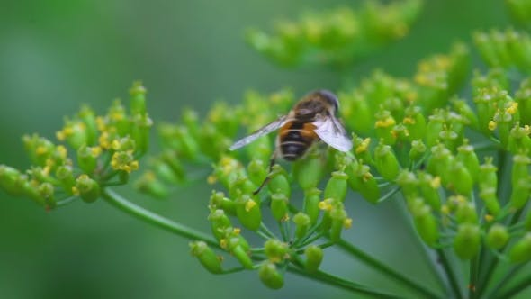 Cover Image for Fly On Dill Inflorescence