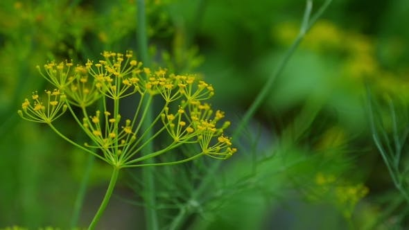 Thumbnail for Fly On Dill Inflorescence