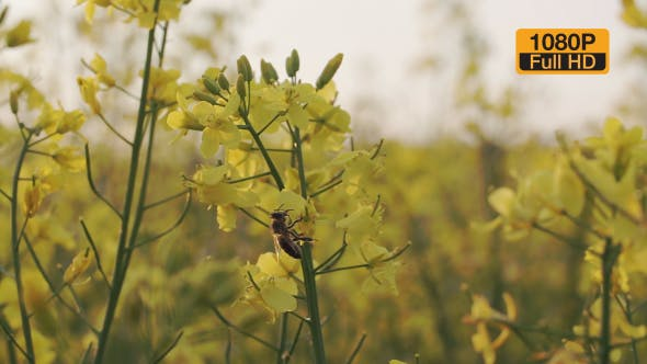 Thumbnail for Bee Harvests Nectar On a Rapeseed Flower